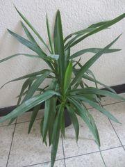Zimmerpflanzen Yukkapalme Avokadobäumchen Efeutute Begonie