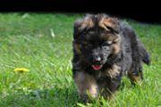 Deutsche Schaeferhund welpen leber farbe