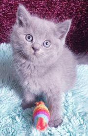 BKH Mix Kitten Kätzchen Mädchen