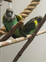Meyers- Goldbug Papageien