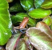 Verkaufe oophaga pumilio cristobal Erdbeerfröschchen