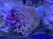 Meerwasser Aquarium Aqua Medic Armatus