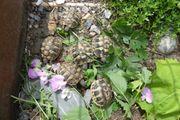 Grichische Landschildkröten