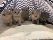 BKH Kitten junge männchen kater