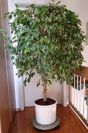 Große Pflanze - Fikus Benjamini