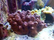 Meerwasser Lps Koralle