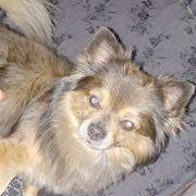 Langaar Chihuahua sucht hübsche Damen
