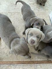 Reinrassige Labrador Welpen in Silber