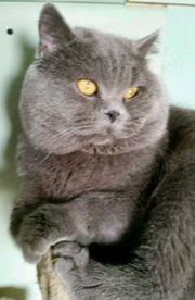 Bkh Blue Point Kater Kitten
