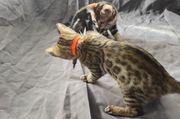 Wunderschöne Bengalkitten suchen neues Zuhause