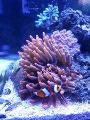 Kupferanemone - Entacmaea quadricolor - Meerwasser