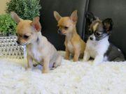Aufgeschlossene Chihuahua Welpen