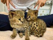 Savannah Kitten Katzen