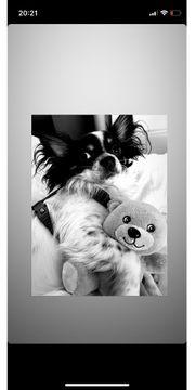 Chihuahua deckrüden