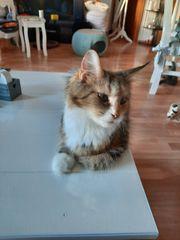 6 reinrassige Maine Coon Kitten