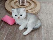 British Kurzhaare Kitten vom Stammbaum