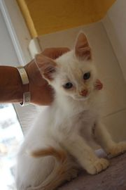 Coby kitten mit strahlend blauen