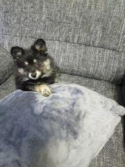 Pomeranian zwergspitz rüde 4 1
