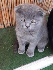 Zuckersüße BKH Kitten suchen ein