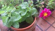 Dahlien Pflanzen zu verkaufen