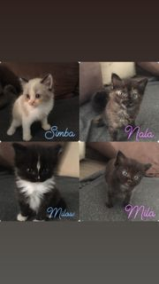 Edel-Mix-Kitten heilige Birma-Perser x Ragdoll