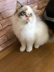 süßes Perser Kätzchen mit Nase