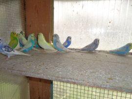 Vögel - Junge Wellensittiche