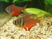 10 Roter von Rio Hyphessobrycon