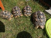Pantherschildkröten in gute Hände abzugeben