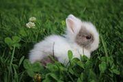 Mini Teddyzwerge Babys Kaninchen zutraulich