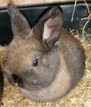 Kaninchen ZWERG zu verkaufen
