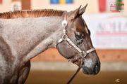 Deckanzeige - Quarter Horse Hengst