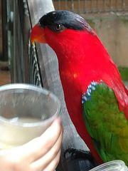 Nehme Vögel wie Sittiche Papageien