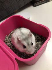 Hamster Babys ab dem 20