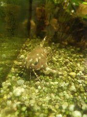 Fische aus Aquarium Auflösung abzugeben