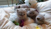 Zauberhafte BKH BLH Kitten in