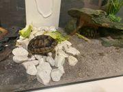 Griechische Schilkröten