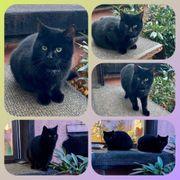 Schwarze Katzen und Kater suchen