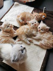Reinrassige Perser Katzen mit Nase