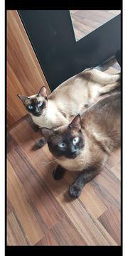 Siam Kitten reinrassig