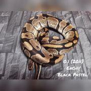 0 1 Enchi Blackpastel