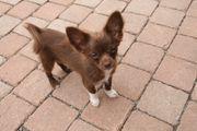 Super verschmuste Chihuahua Welpen LH