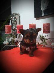 Yorkshire Terrier Rüde Pap Chip