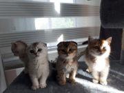 BKH Scottish Fold Kitten suchen