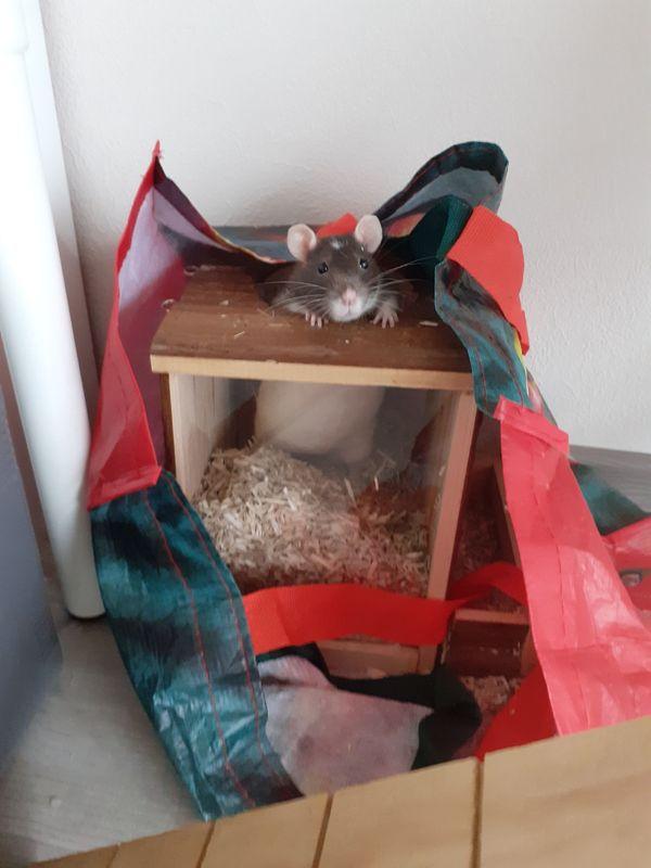 Zwei ältere zahme Ratten Damen abzugeben, samt Zubehör