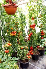 Suche kleineres Gewächshaus für Tomaten