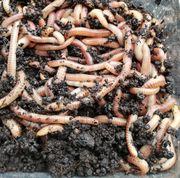 Riesen Rot Würmer Groß menge