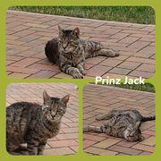 Wunderschöner Kater Jack 8 Jahre
