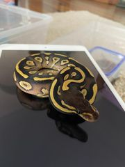 Mojave Yellow Belly DH Ghost