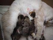 BKH mix Kitten Katzenbabys